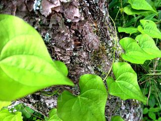 ハートに見える葉っぱの写真・画像素材[1236118]