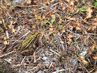 土と草の蛙の写真・画像素材[1236119]
