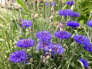 紫の花の写真・画像素材[1252545]