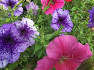 近くに紫の花のアップの写真・画像素材[1252546]