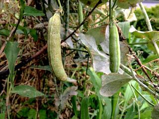 豆のなる木の写真・画像素材[1252548]