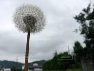 たんぽぽのアトの写真・画像素材[1257069]