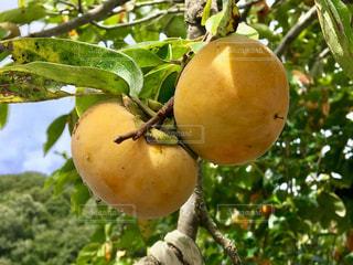 枝からぶら下がって果物の写真・画像素材[1489015]