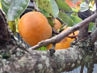 柿の写真・画像素材[1489016]