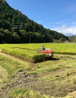 稲刈る秋の写真・画像素材[1528614]