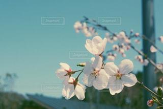 きれいな桜の写真・画像素材[1228542]