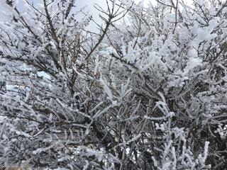 別府鶴見岳の霧氷の写真・画像素材[1227325]