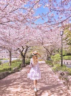 桜並木道の写真・画像素材[1228325]