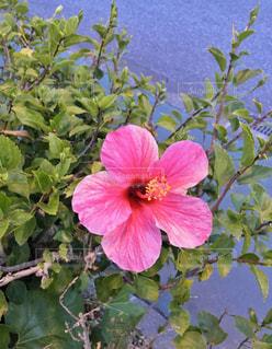 植物にピンクの花の写真・画像素材[1233292]