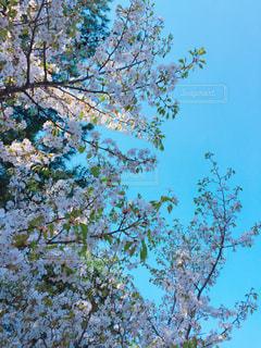 葉桜の写真・画像素材[1227835]