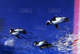 水の中を泳ぐ鳥の写真・画像素材[1597381]