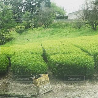 茶畑の写真・画像素材[1230058]