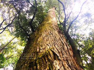 森の大きな木の写真・画像素材[1229810]