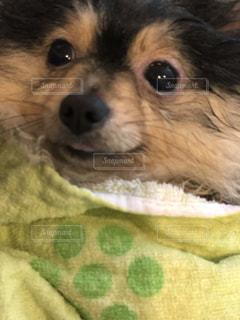 お風呂上がり犬の写真・画像素材[1230063]