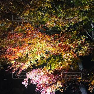 秋の紅葉の写真・画像素材[1653166]