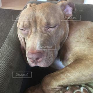 ソファの上に横たわる大きな茶色の犬の写真・画像素材[1230454]