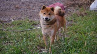 草の中に立つ茶色い犬の写真・画像素材[1246915]