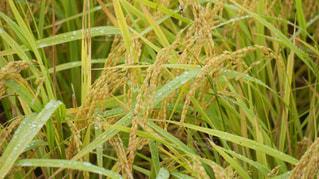 稲の写真・画像素材[1251740]