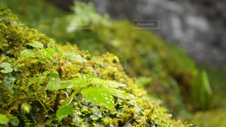 滝に沿うコケと草木の写真・画像素材[1361731]