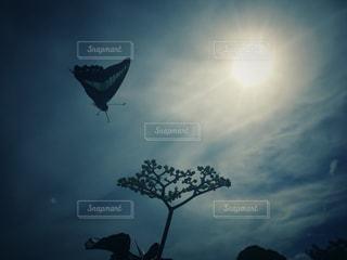 宙を舞うアオスジアゲハの写真・画像素材[1454848]