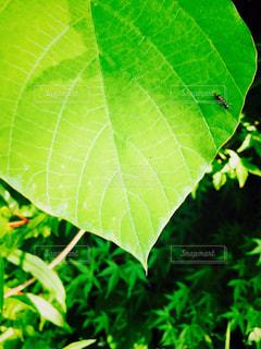 緑の葉の写真・画像素材[1231157]