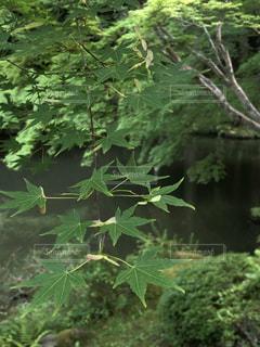 森の中の緑の植物の写真・画像素材[1231500]