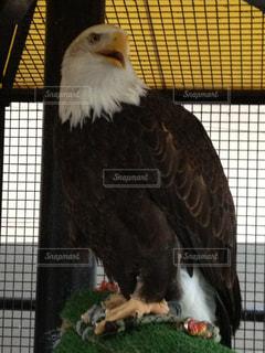 鷹の写真・画像素材[1233071]