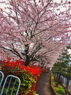 桜並木の写真・画像素材[1250044]