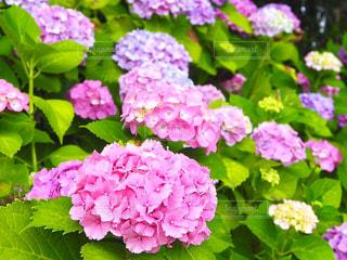 紫陽花の写真・画像素材[1250558]