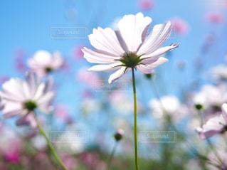 秋桜の写真・画像素材[1585707]