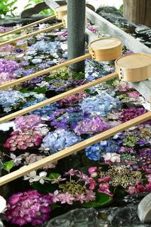 手水舎の紫陽花の写真・画像素材[2220964]