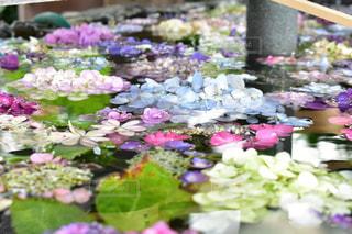 手水舎の紫陽花の写真・画像素材[2220997]