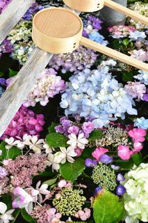 手水舎の紫陽花の写真・画像素材[2220999]