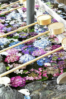 手水舎の紫陽花の写真・画像素材[2221000]