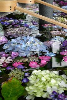 手水舎の紫陽花の写真・画像素材[2221004]