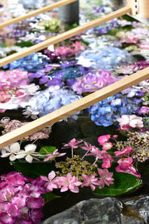 手水舎の紫陽花の写真・画像素材[2221006]