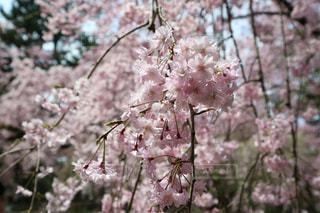 満開の桜の写真・画像素材[1234924]