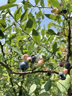 ブルーベリーの木の写真・画像素材[2333827]