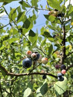 ブルーベリーの木の写真・画像素材[2333828]