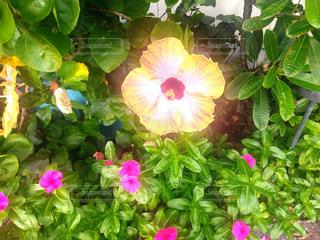 マウイ島のハイビスカスの写真・画像素材[1325444]