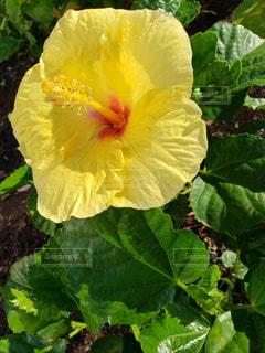 ハワイアン ハイビスカスの写真・画像素材[1651585]