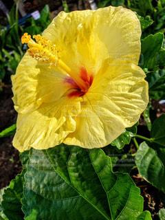ハワイアン ハイビスカスの写真・画像素材[1651587]