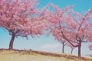 桜の写真・画像素材[1236672]