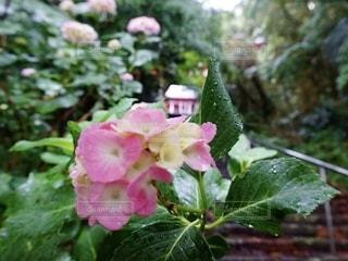 紫陽花の写真・画像素材[3318600]