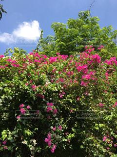 ブーゲンビレアが咲いたの写真・画像素材[1236002]