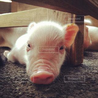 子豚の昼寝の写真・画像素材[1245396]