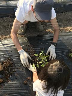 トマトの苗植えの写真・画像素材[1246946]
