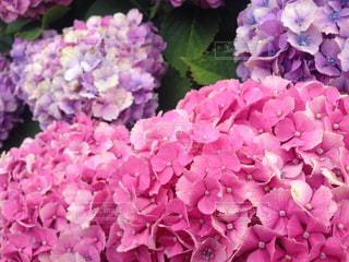 紫陽花の写真・画像素材[1236677]