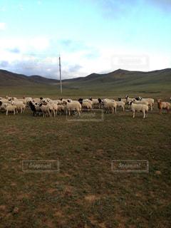 モンゴル草原の羊の写真・画像素材[1236589]