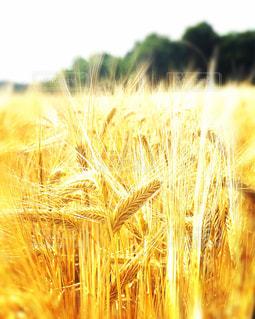 金色に輝く麦の写真・画像素材[1237277]